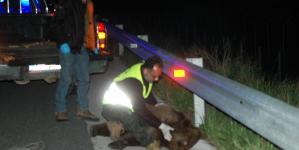 Κόμβος Βογατσικού: Τροχαίο με αρκούδα στην Εγνατία (φωτο)