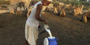 Γάλα καμήλας, μία αναπτυσσόμενη βιομηχανία [εικόνες]