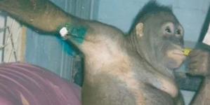Η σοκαριστική ιστορία της Πόνι -Του ουρακοτάγκου που βίαζαν άνθρωποι σε οίκο ανοχής [εικόνες]