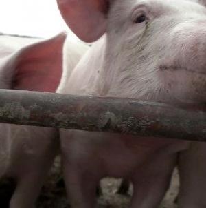 21ο ΦΕΣΤΙΒΑΛ ΝΤΟΚΙΜΑΝΤΕΡ ΘΕΣΣΑΛΟΝΙΚΗΣ Ακολουθώντας την αλυσίδα παραγωγής χοιρινού κρέατος -Από τα χωράφια σόγιας στα σφαγεία [τρέιλερ]