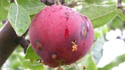 Καστοριά: Γεωργικές προειδοποιήσεις για την καρπόκαψα της μηλιάς